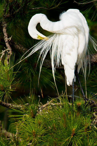 Great Egret Preening<br /> Great Egret Chincoteague NWR, Virginia