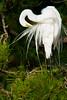 Great Egret Preening<br /> Great Egret Chincoteague NWR, Virginia
