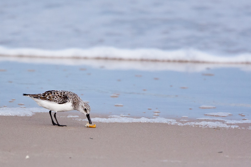 Sanderling<br /> Sanderling Chincoteague NWR Virginia