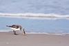 Sanderling<br /> Sanderling Chincoteague NWR Virginia