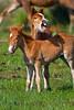 Horsin' Around<br /> Chincoteague Wild Horses Chincoteague NWR Virginia