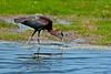 Glossy Ibis<br /> Glossy Ibis Chincoteague NWR VA