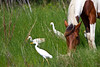 Cattle Egrets and Wild Horse<br /> Chincoteague Wild Horses Chincoteague NWR Virginia