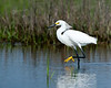 Snowy Egret Dance<br /> Snowy Egret Chincoteague NWR Virginia