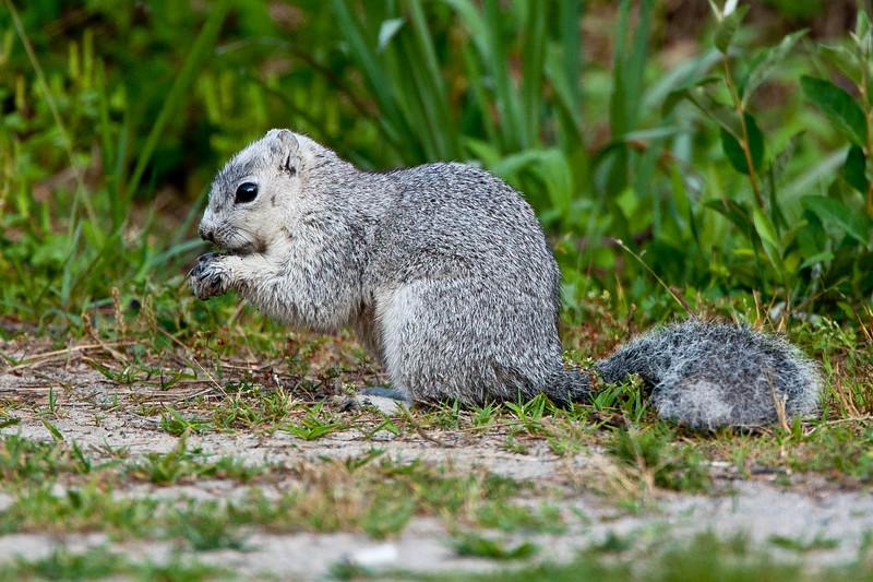 Delmarva Fox Squirrel<br /> Delmarva Fox Squirrel  Chincoteague NWR Virginia