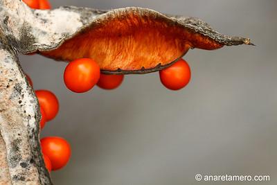 Fruto del irio hediondo (Iris foetidissima)