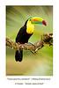 Tucán pico-iris