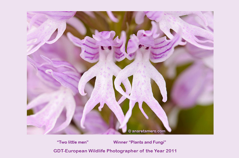 """Dos hombrecillos (<em><span style=>Orchis italica</span> </em>)/ """"Zwei kleine Männchen""""   <a href=""""http://www.gdtfoto.de/content.php?siteloc=454"""">Link to the Gallery GDT European Wildlife Photographer of the Year 2011</a>"""