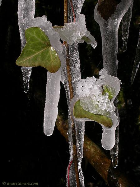 Hiedra helada