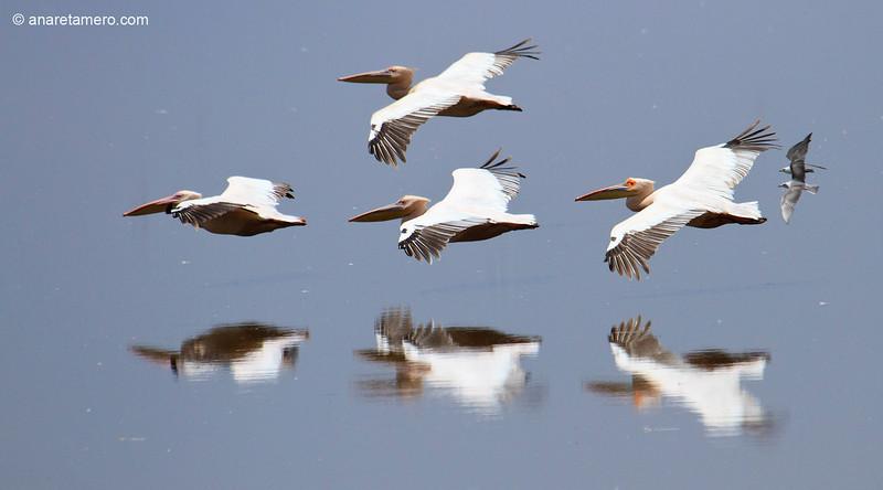 Grupo de pelícano común en vuelo /White Pelicans (Pelecanus onocrotalus)