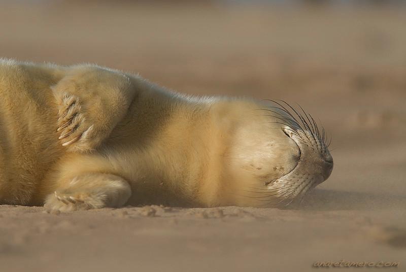 Durmiendo con el viento  Con apenas unos días de vida, esta pequeña foca gris <em>(Halichoerus grypus)</span></em> duerme plácidamente, ignorando el frío, el viento, los afilados golpes de los granos de arena, e incluso, el dudoso futuro de su especie. Tomé la foto tumbada, a ras de suelo, e intenté captar la ternura de esta cría durmiendo, a pesar de las condiciones adversas de su entorno.  Nikon D200, Nikkor 80-400mm, f/5.6, 1/800 (-0.3ev), ISO 125