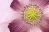 """<span style=""""color:#FBEC5D"""">Adormidera</span></em>  Detalle de amapola real <em>(Papaver somniferum)</span></em> en el que sobre el delicado rosa-violáceo de los pétalos, destaca el disco radial de la cápsula, rodeado de numerosos estambres de anteras amarillentas.  Nikon D300, Nikkor 105mm f2.8, tubos de extensión, f/14, 1/100, (-0.3ev), ISO 250"""