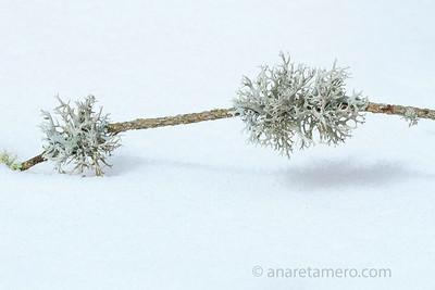 Líquenes en la nieve