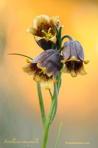 Fritillaria stenophylla