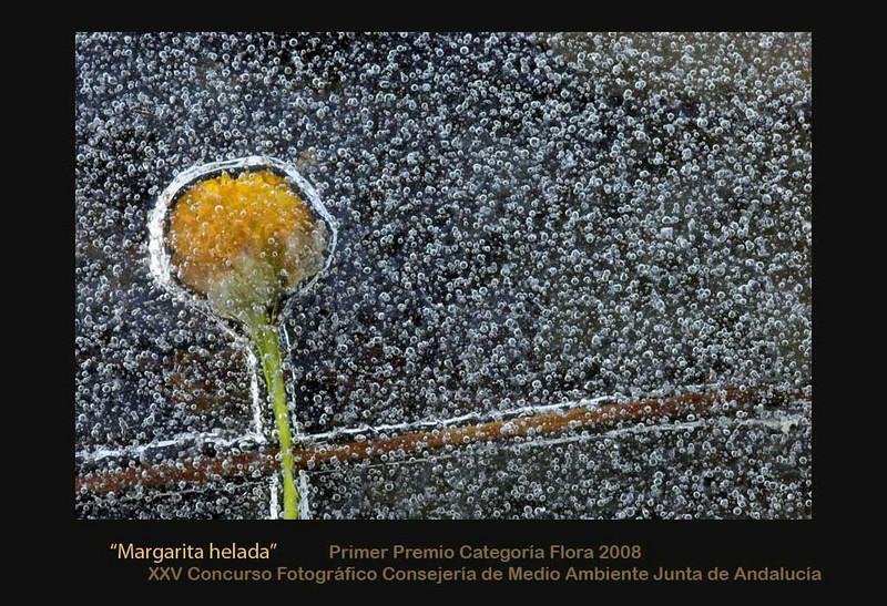 "Frozen flower/ Margarita helada <a href=""http://www.juntadeandalucia.es/medioambiente/site/web/menuitem.a5664a214f73c3df81d8899661525ea0/?vgnextoid=ad8ee37b97808110VgnVCM1000000624e50aRCRD&vgnextchannel=04cdd68537aa2210VgnVCM1000001325e50aRCRD&lr=lang_es&vgnsecondoid=88538d2514f99110VgnVCM1000000624e50a____""> Enlace a la Consejería de Medio Ambiente</a>"