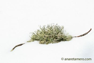 Líquen en la nieve
