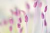"""<span style=""""color:#FBEC5D"""">Estambres de alcaparra</span></em>  Las flores de alcaparra <em>(Capparis spinosa)</span></em> poseen numerosos estambres cuyo color rosa-violáceo contrasta sobre la textura de los pétalos blancos y el verde claro del interior de la corola. En esta toma usé un punto de vista que me permitiera adentrarme en la flor, y me decidí por  un diafragma relativamente abierto para obtener un enfoque selectivo sobre la antera central, que destacara la sutileza de formas y los delicados tonos de la flor.  Nikon D300, Nikkor 105 mm f2.8 y tubos de extensión, f/7.1, 1/40, (-0,3ev), ISO 200"""