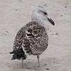 Great Black-backed Gull, Belmar, NJ