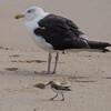 Great Black-backed Gull and Semi-palmated Sandpiper, Belmar, NJ