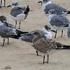Laughing Gulls at Belmar, NJ