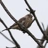 Female House Finch, Belmar