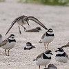 Landing Semi-palmated Sandpiper and Semi-palmated Plovers, Belmar, NJ