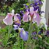 Siberian Iris Pink Haze and an Iris Ensata with Clematis jackmanii.