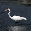 Marshlands Great Egret