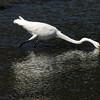 Marshlamds Egret