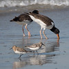 Oystercatchers and Semi-palmated Sandpipers