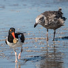 American Oystercatcher and Ring-billed Gull