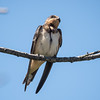 Barn Swallow at Oceanside Marine Study Center