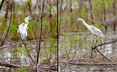 Juvenile Little Blue Heron in the swamp
