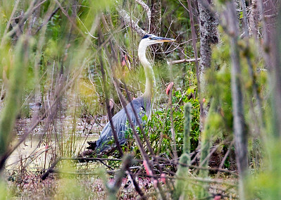Great Blue Heron in the swamp
