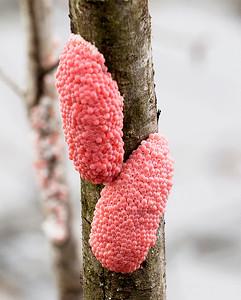 Apple Snail's egg clusters