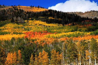 Fall Aspens Near Torrey, Utah