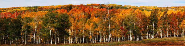 Fall Aspens on Skyline Drive Near Helper, Utah
