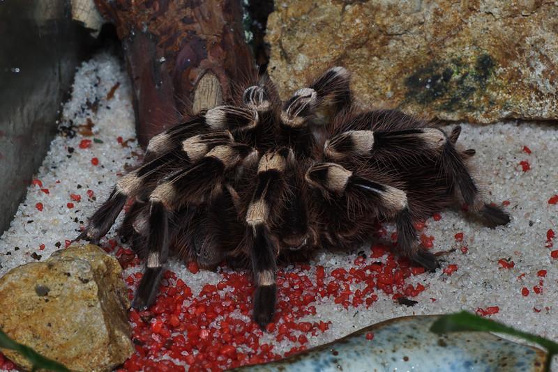 Tarantula Equateur (Pamphobeteus sp Beluda)