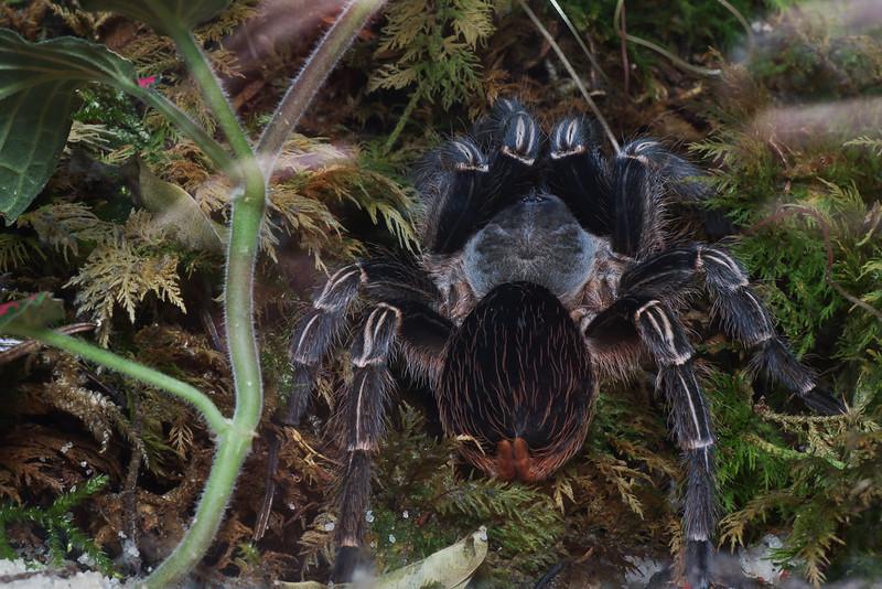 Tarantula Costa Rica (Aphonopelma Seemani)
