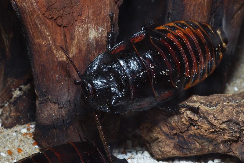 Cockroach de Madagascar (Princesia Vanwaerebeki)