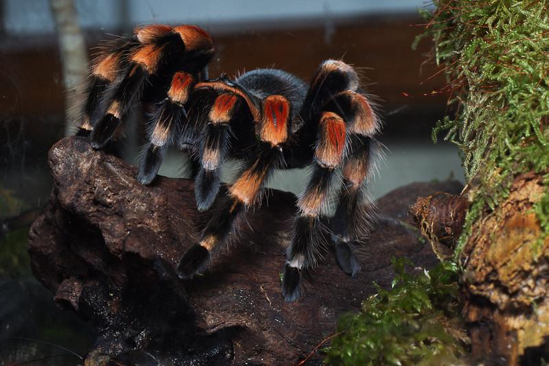 Tarantula Mexique (Brachypelma Smithi)