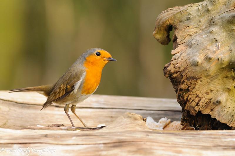 Vogels te Nieuwrode