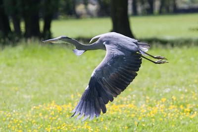 Blauwe reiger - Ardea Cinerea - Heron.