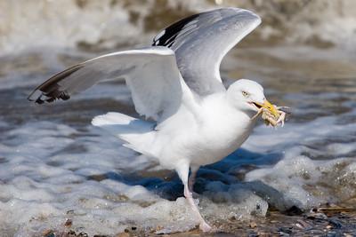 Zilvermeeuw - Larus argentatus - Herring Gull. Herring Gull eating small crab. Zilvermeeuw eet krabbetje.