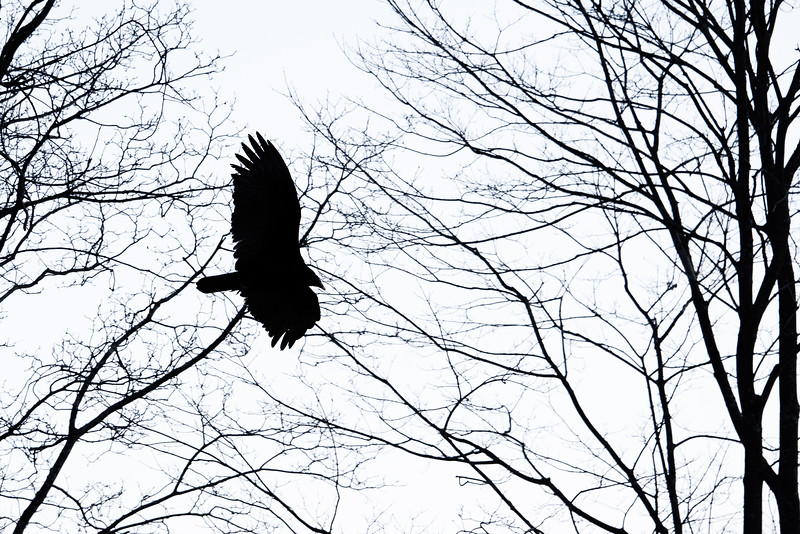 Vulture Skunk-33