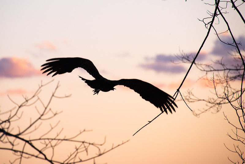 Vulture Skunk-60