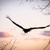 Vulture Skunk-59-2