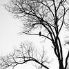 Vulture Skunk-20