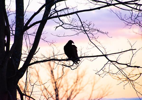 Vulture Skunk-46
