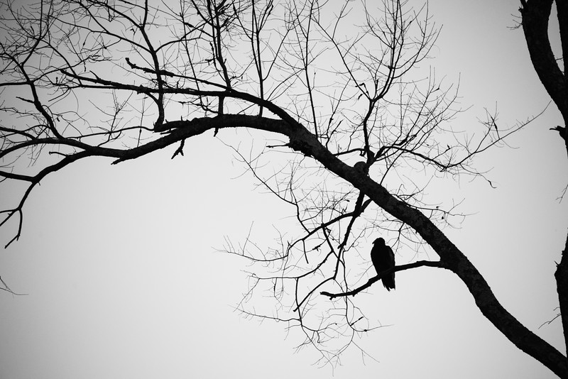 Vulture Skunk-22